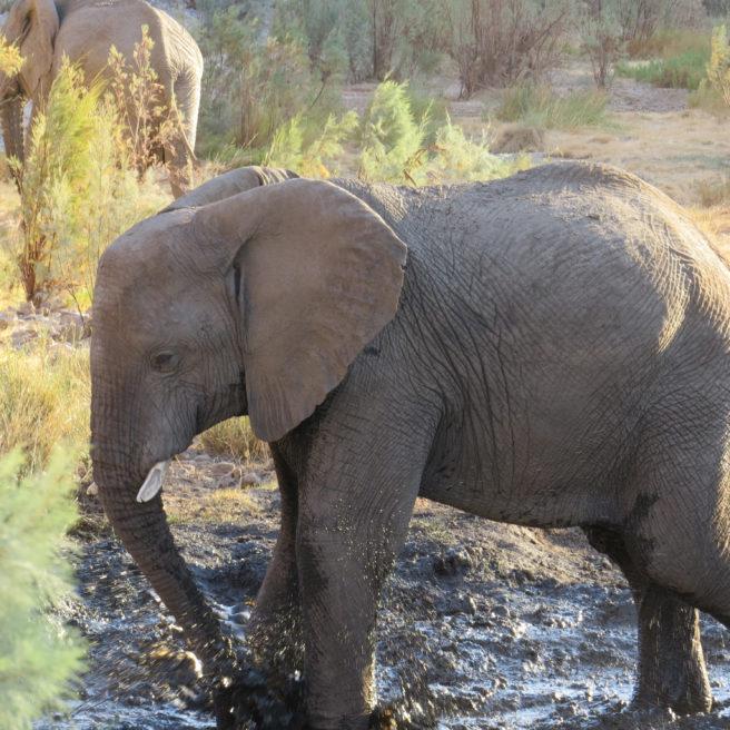 Ung elefant bader i gjørmete vann