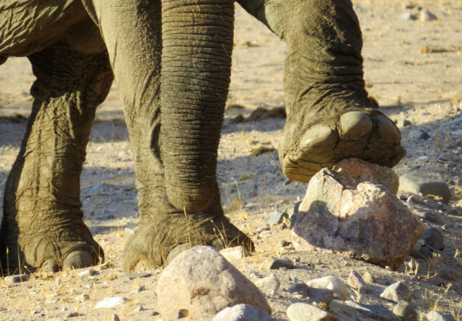 Bilde av foten til en elefant som tråkker på en stein