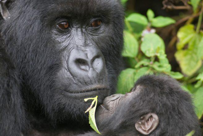 Gorillaunge ser opp på den store sølvrygg-gorillaen, som holder ungen i armene sine.