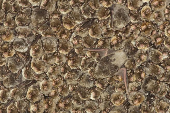 Mange flaggermus i en diger klynge.