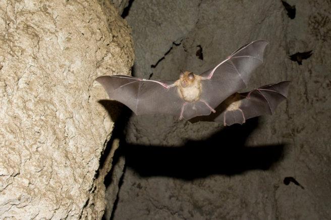 En flaggermus som flyr