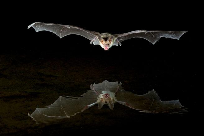 Flaggermus speiler seg i i svart innsjø