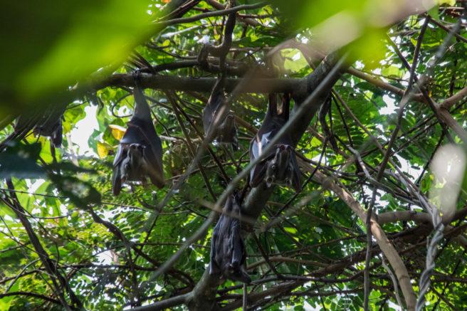 Fire store flaggermus henger opp ned i et tre.
