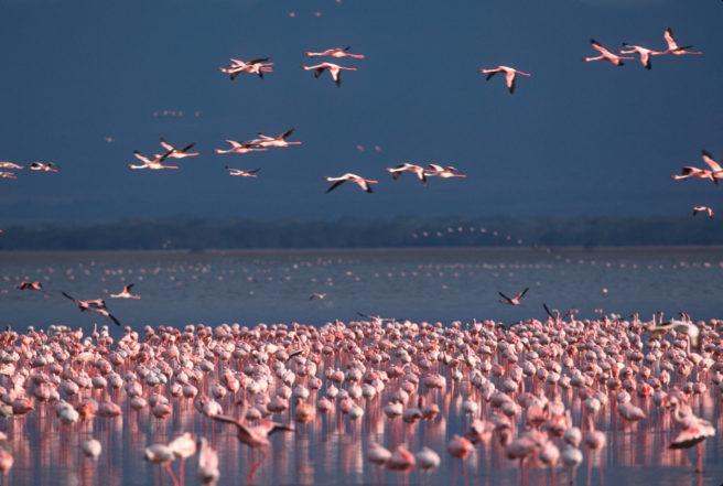 En flokk med flamingoer - noen står i vannet og noen flyr.