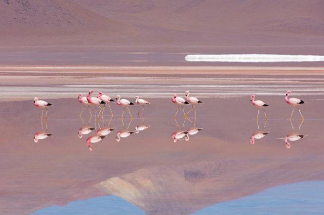 Flamingoer med speilbilde i vannet