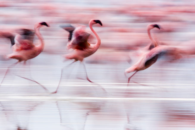 Tre flamingoer løper.