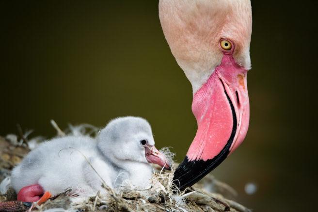 Nærbilde av en flamingounge og hodet til moren/faren.