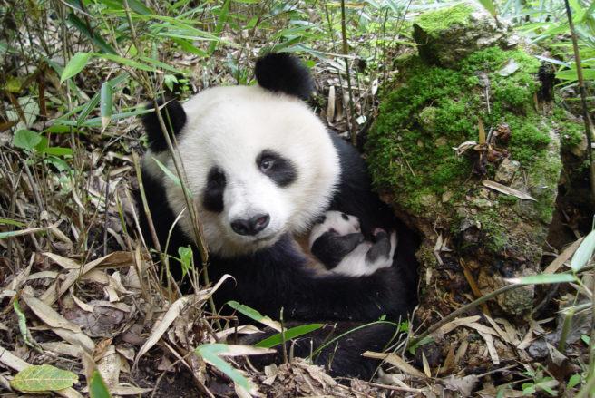 hvor gammel kan en panda bli