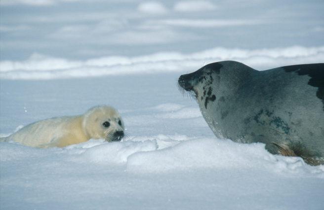 En liten kvitunge sammen med moren sin.