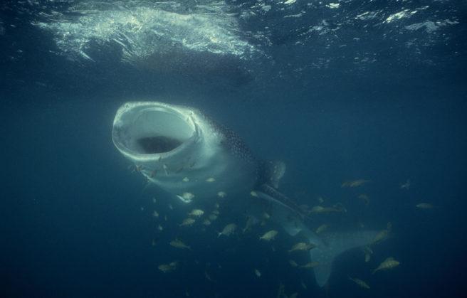 En hvalhai svømmer under vann med åpen munn.