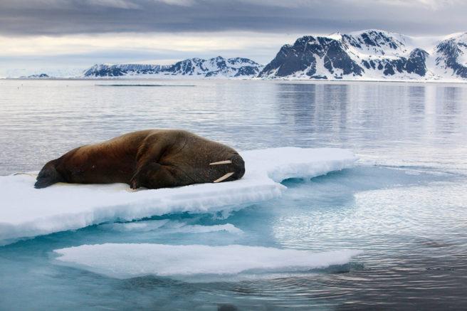En hvalross ligger rett ut på et isflak