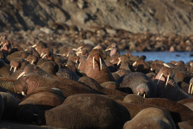 En flokk med hvalrosser på en strand