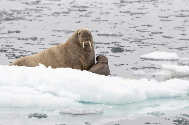 En hvalrosshunn med unge på et isflak