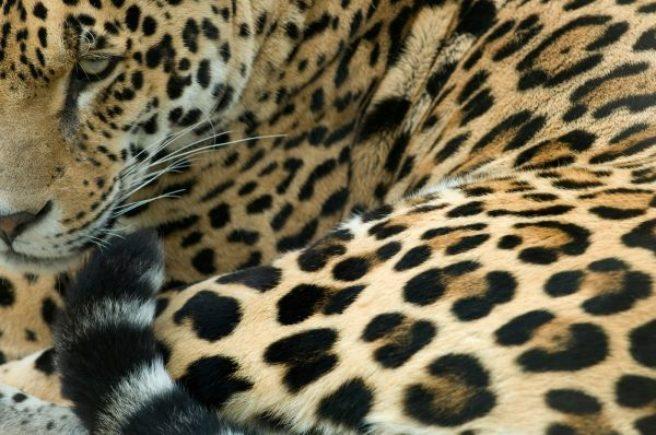Nærbilde av pelsen til en liggende jaguar.