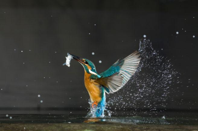 Isfugl i vakre farger på vei opp av vannet med fisk i nebbet
