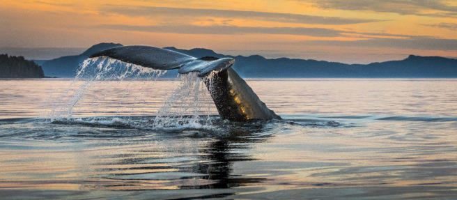 Halefinnen til en knølhval stikker opp av havet i solnedgang