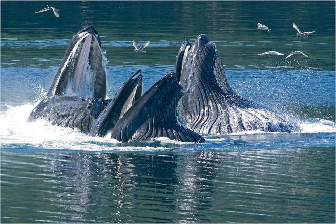 Tre knølhvaler stikker hodet opp av havet i jakten på mat.