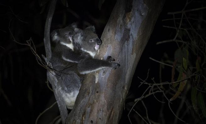 Koalamor med unge på ryggen oppe i et tre på natten