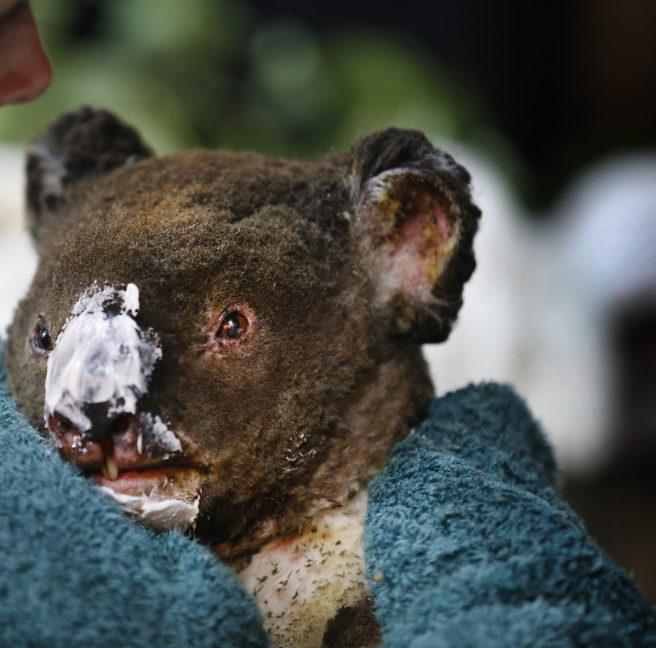 Brannskadet koala