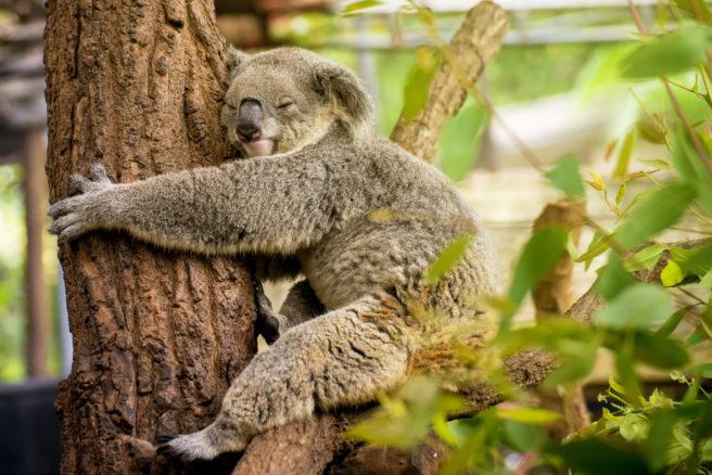 En sovende koala holder rundt et eukalyptustre