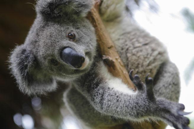 En koala kikker ned fra et tre.