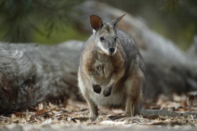 Liten kenguru, en krattwallaby, ser mot kameraet.