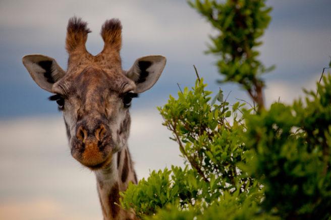 En giraff titter opp bak et tre.
