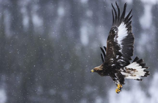 En kongeørn i flukt i et snødekt landskap