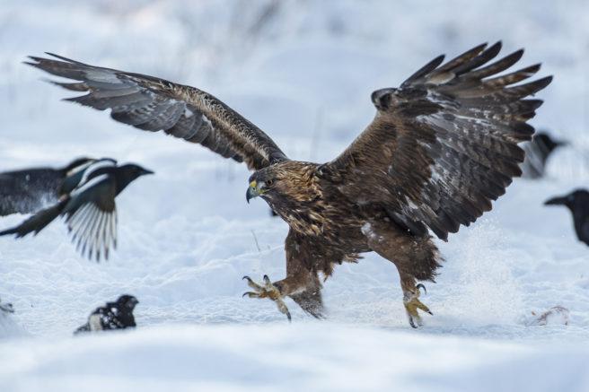 En kongeørn går inn for landing i et snødekt landskap.