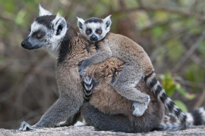 En ringhalelemurunge sitter på morens rygg.