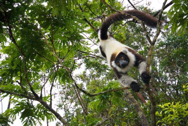 En lemur klatrer nedover i et tre.