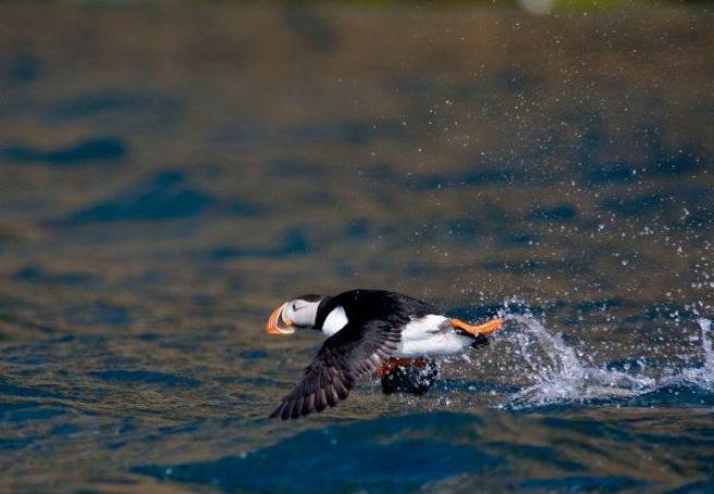 En lundefugl flyr noen centimeter over havoverflaten