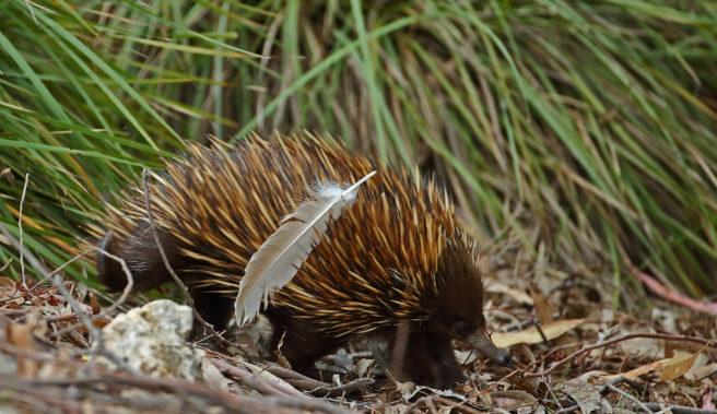 Lite, mørkebrunt dyr med lange lysebrune pigger.