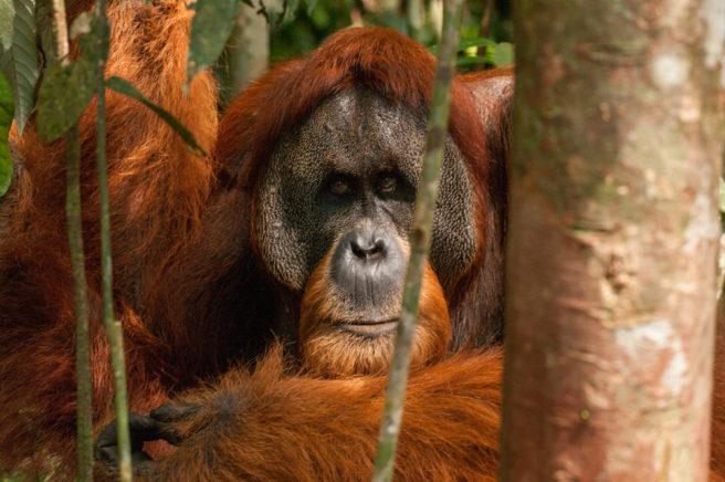 En orangutang sitter på bakken.