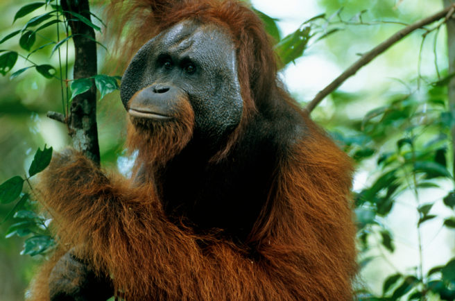 En orangutang sitter i et tre.