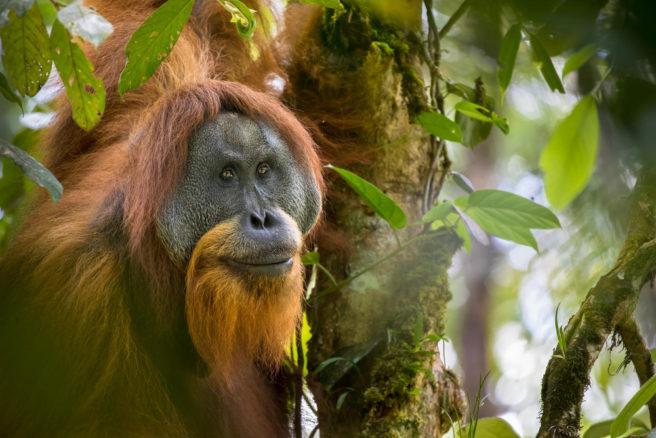 En orangutanghann sitter i et tre.