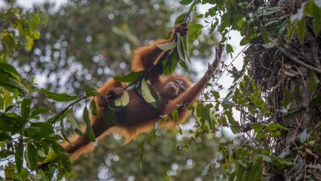 En ung orangutang klatrer i et tre.
