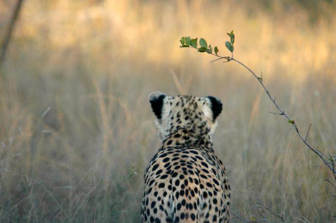 Bakhodet til en gepard.