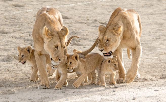 To hunnløver med ungene sine.