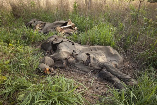 En elefant som er drept av krypskyttere