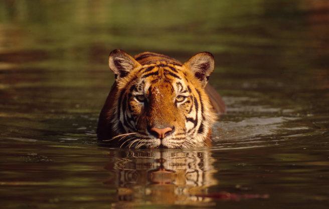 En tiger som svømmer