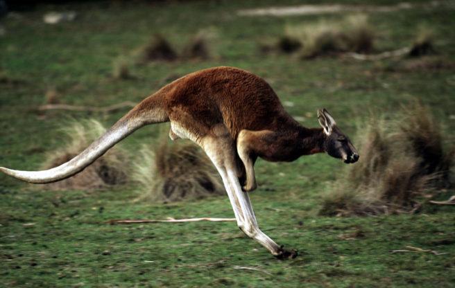 En kenguru som hopper