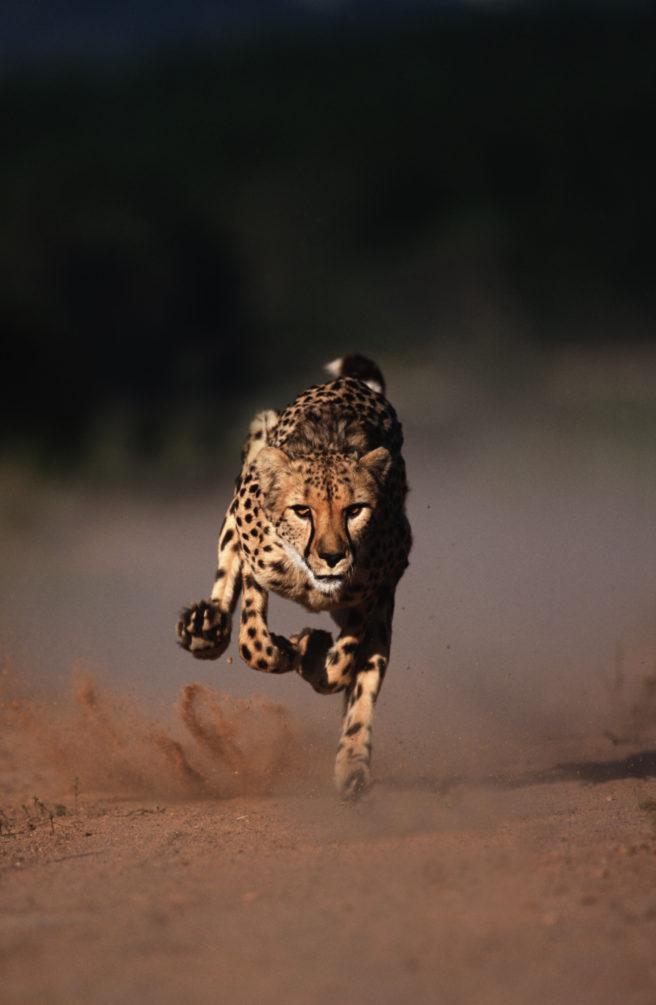 En gepard i fullt firsprang over en slette.