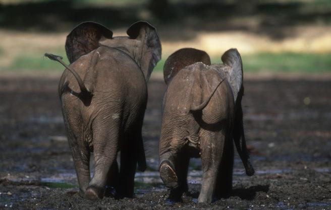 To unge skogselefanter går bort fra kamera, side ved side