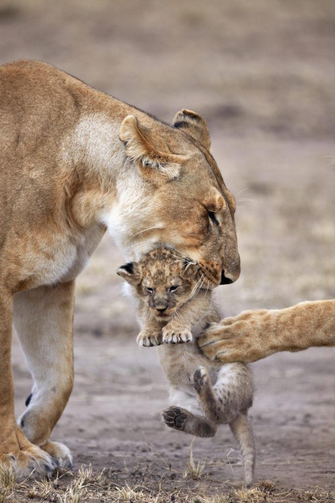 En hunnløve som bærer ungen sin i munnen.