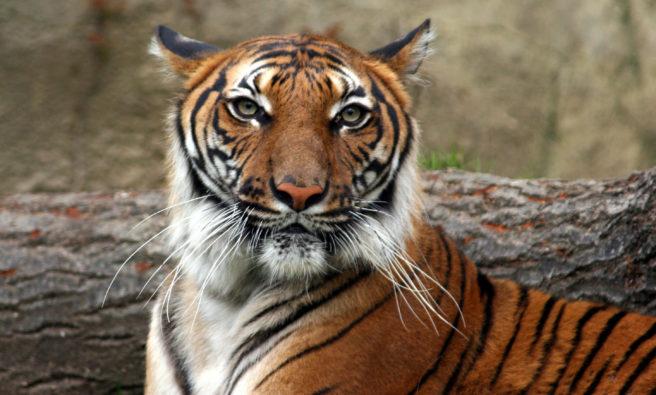 Portrett av indokinesisk tiger