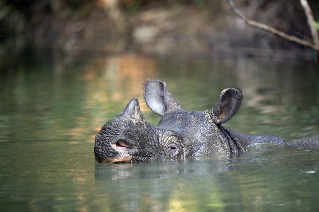 Et java-neshorn som svømmer