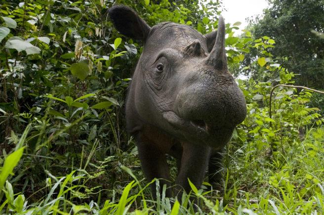Nærbilde av et sumatra-neshorn