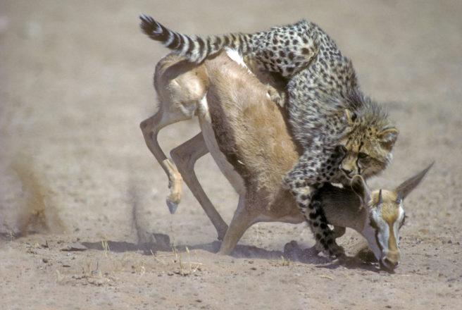En ung gepard som har hoppet på en springbukk, og er i ferd med å legge den ned i bakken.