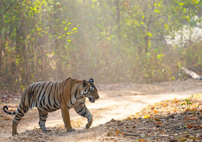 En tiger som krysser en vei